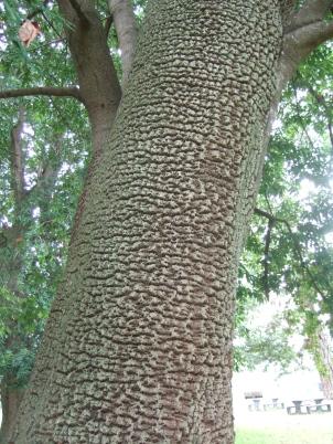 1-Fall-11d sapsucker tree