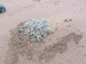 1-winter-coyote scent marking