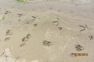 raccoon, bobcat, heron