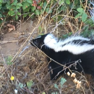 nothing much cuter than a baby skunk