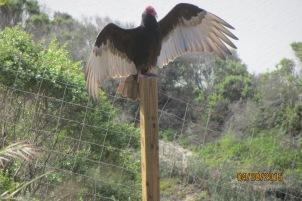 2-spring-buzzard on post