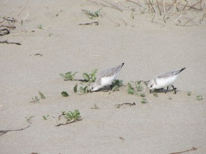 2-spring-plovers probing