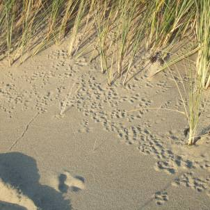 deer mouse trails