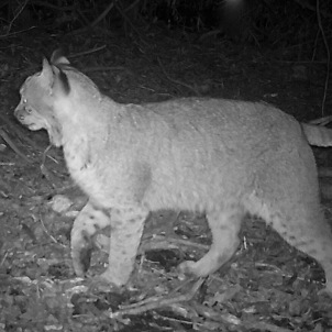 Trail cam photo of bobcat.